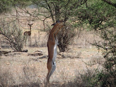 34 Gerenuk at tree 3