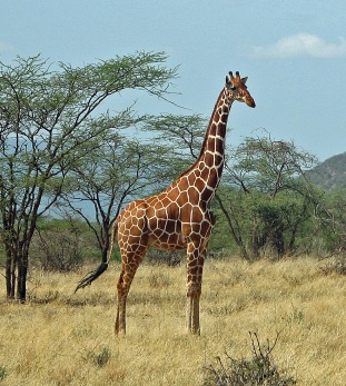 39 Giraffe - Reticulated