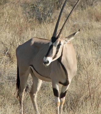 40 Beisa Oryx
