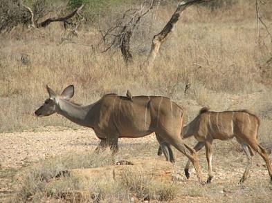 41 Kudu