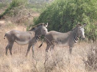 42 Grevy's Zebras