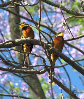 5 Cinnamon-Chested Bee-eaters