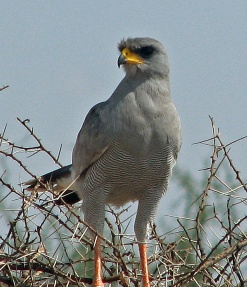 56 Eastern Chanting Goshawk