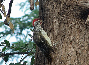 57 Nubian Woodpecker