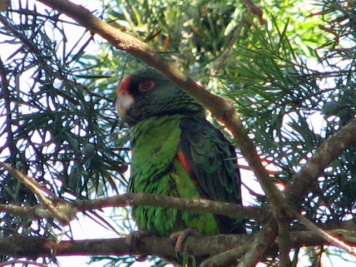 58 Red Fronted Parrot
