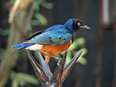 59 Superb Starling