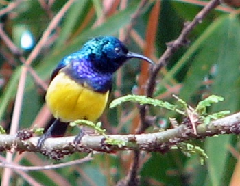 6 Variable Sunbird