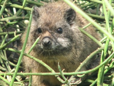 63a Tree Hyrax