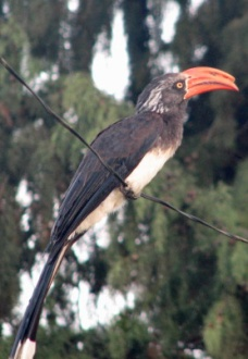 67a Crowned Hornbill