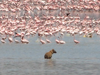 74 Hyena with Flamingoes