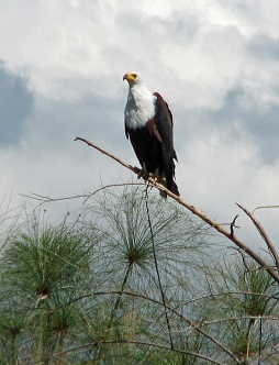 77 African Fish Eagle