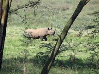 80 Black Rhino