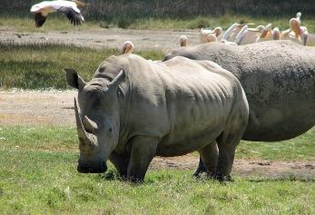 81 White Rhinos