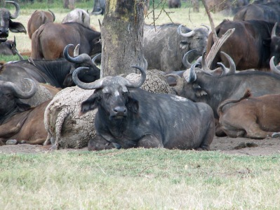 83 Resting Buffaloes