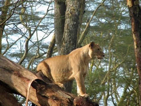 84 Lion