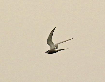 Arctic Tern Pelagic