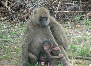 Baboons with young