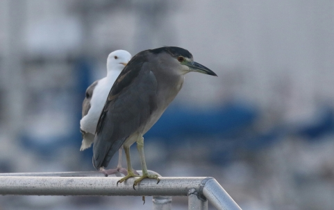 Black Crowned Night Heron-1