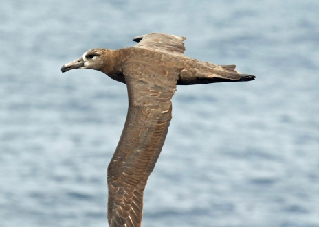 Black Footed Albatross-1