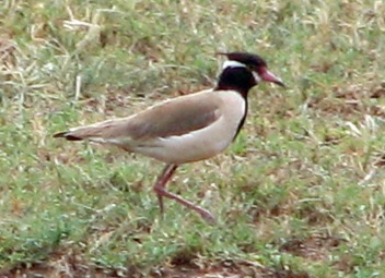 Black Headed Lapwing