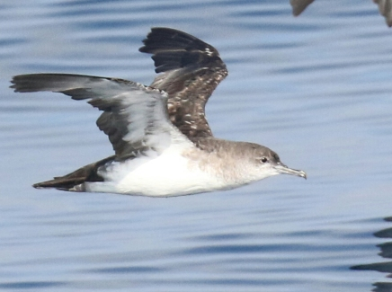 Black Vented Shearwatera