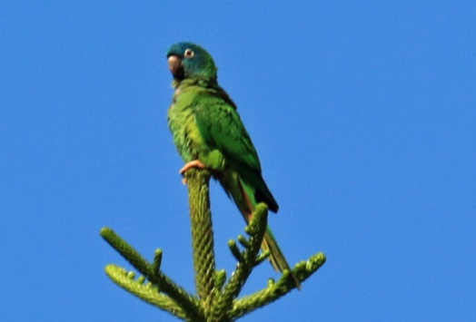 Blue-Crowned Parakeet1