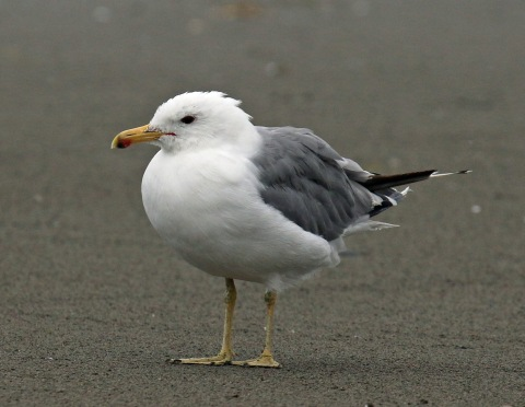 California Gull Adult