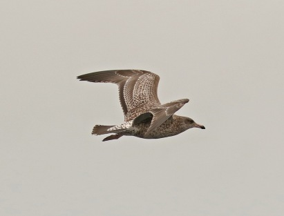 California Gull Juvenile Pattern Pelagic