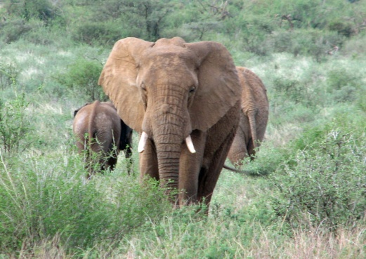 Elephant Front+