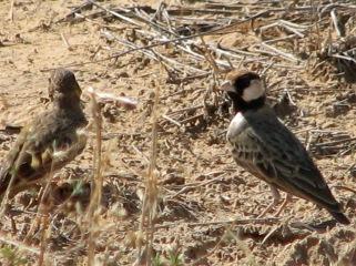 Fischer's Sparrow Larks