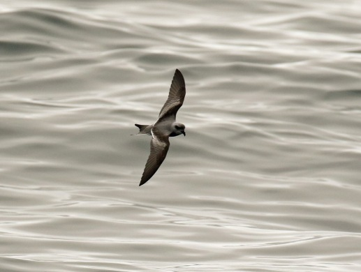 Fork Tailed Storm Petrel Top of Wing Pelagic