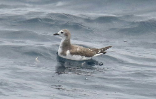 Immature Sabine's Gull-1-1