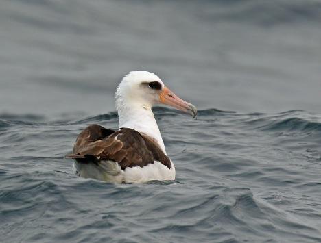 Laysan Albatross2 Pelagic