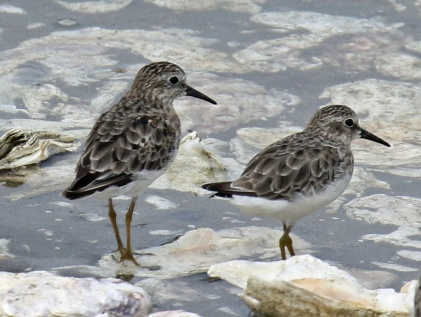 Least Sandpipers Tokeland