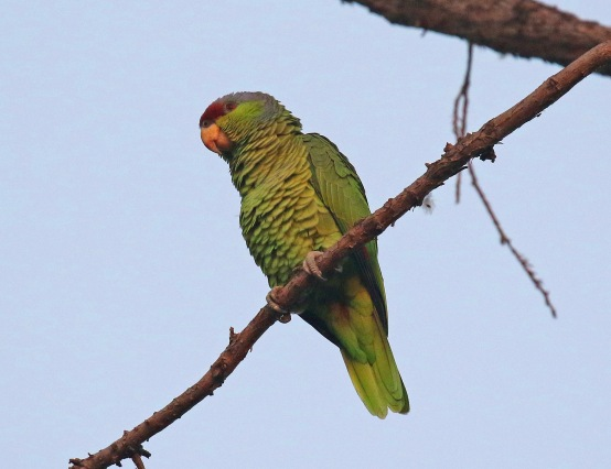 Lilac Crowned Crowned Parrot