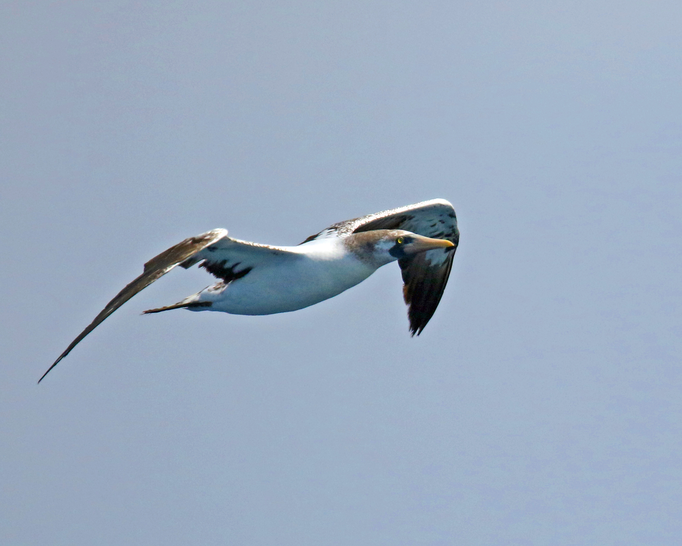 Masked Booby2
