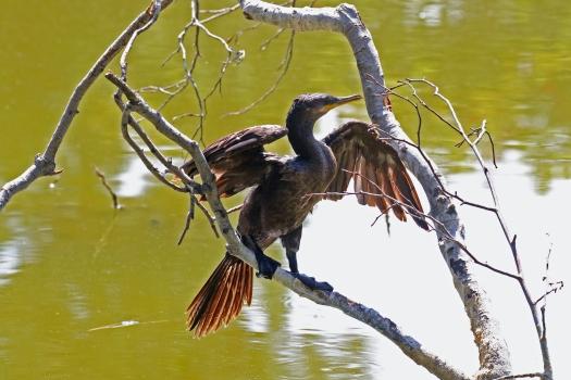Neotropic Cormorant 1
