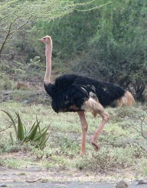 Ostrich M