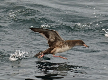 Pink Footed Shearwater Pelagic