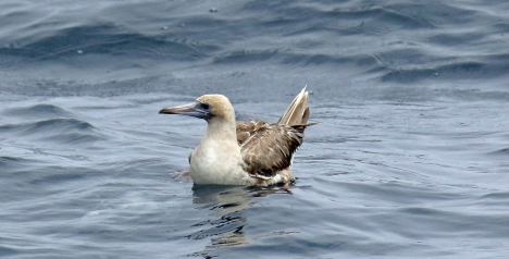 Red Footed Booby on Water-1