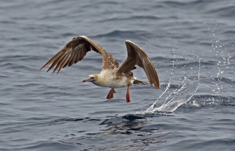 Red Footed Booby1-1