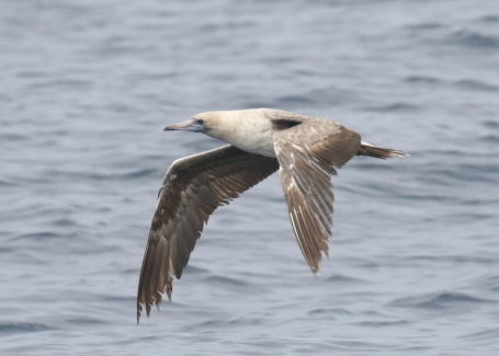Red Footed Booby2-1