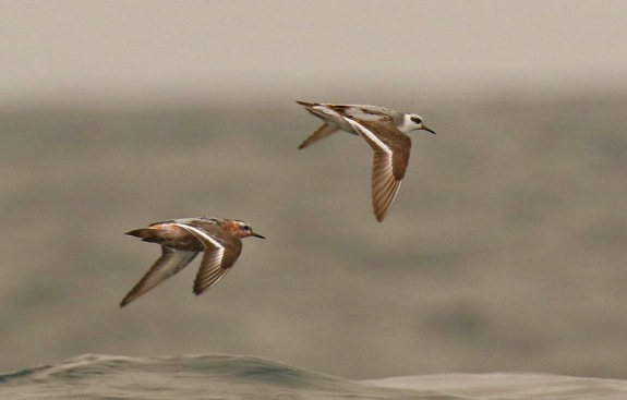 Red Phalaropes3 Pelagic