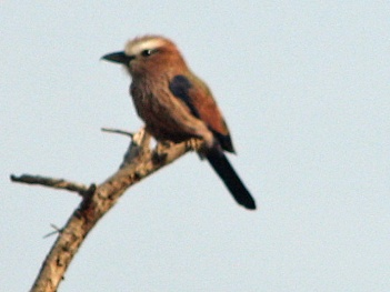 Rufous Crowned Roller