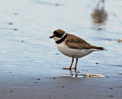 Semipalmated Plover1 Open Beach