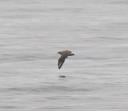 South Polar Skua2 Pelagic