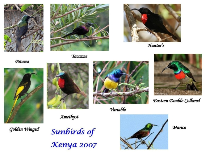 Sunbirds of Kenya