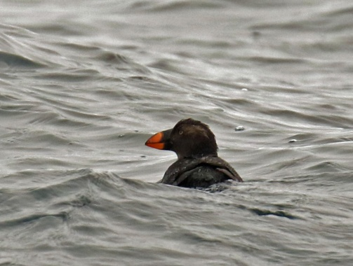 Tufted Puffin1 Pelagic