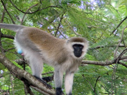 Vervet Monkey at SPH