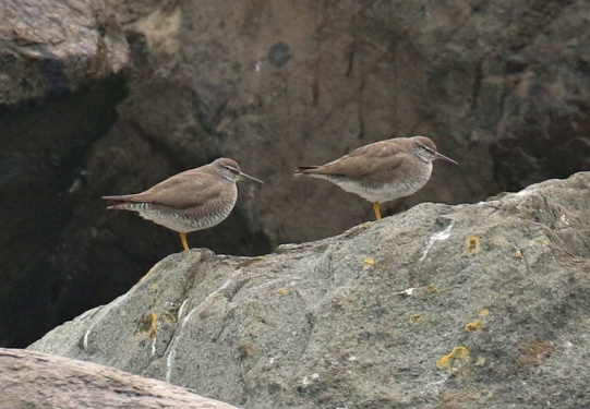 Wandering Tattlers on Jetty2 Pelagic